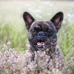 Merlin im Gras